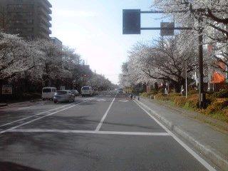 くにたち・大学通りの桜