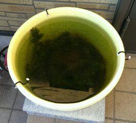 今朝の屋外水槽