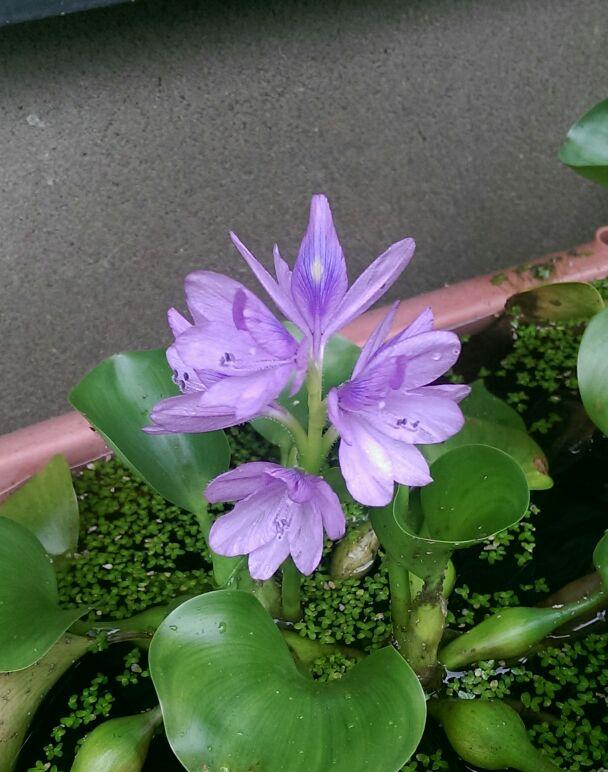 ホテイアオイがまた開花(^_^)
