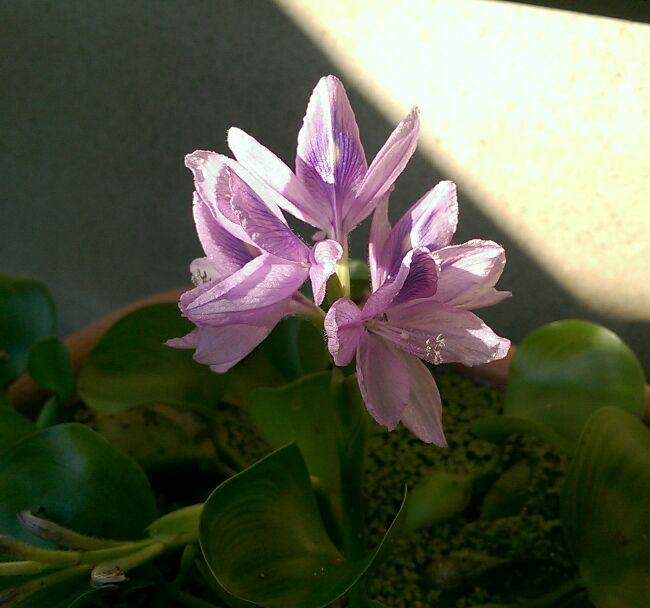 ホテイアオイ、また開花